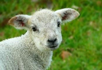 Lamb02 05222017