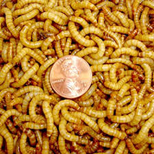 Meal Worms 06132017